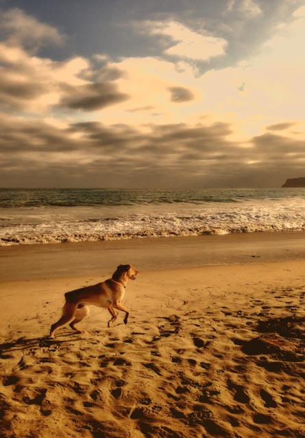 Sam-running-at-dog-beach.jpg