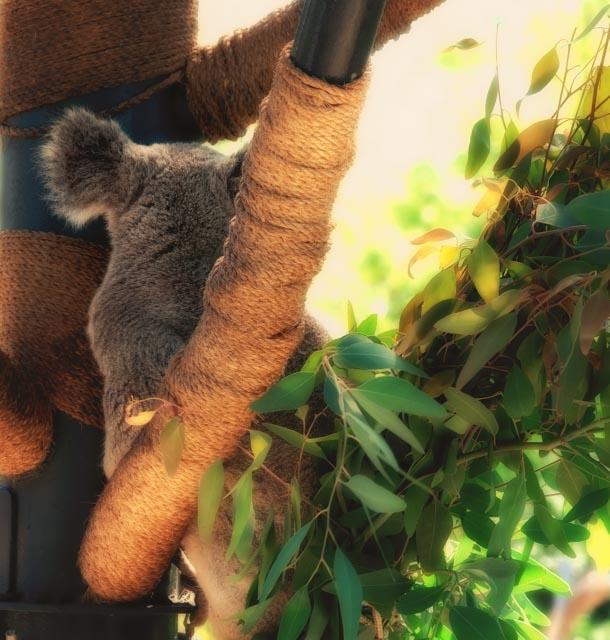 koala-back.jpg