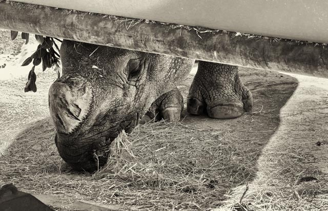 Two Ways of Looking at a Rhino