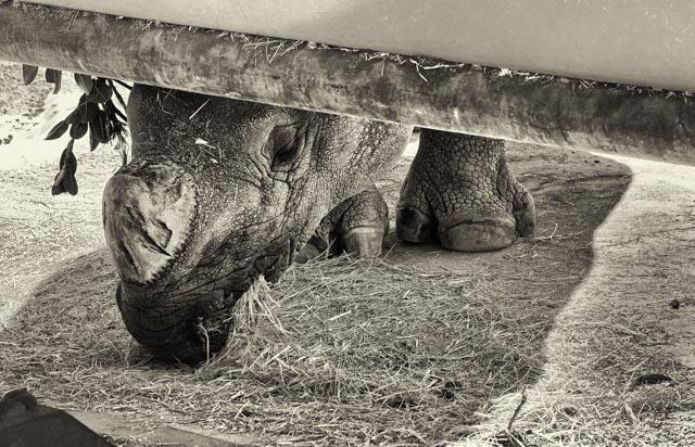 rhino-nibbling.jpg