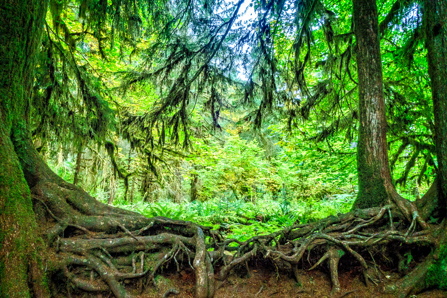 Green Overload in the Hoh Rain Forest