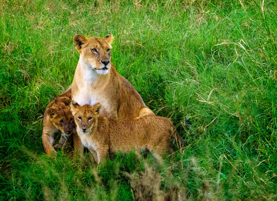 Lion-mother-and-cubs.jpg