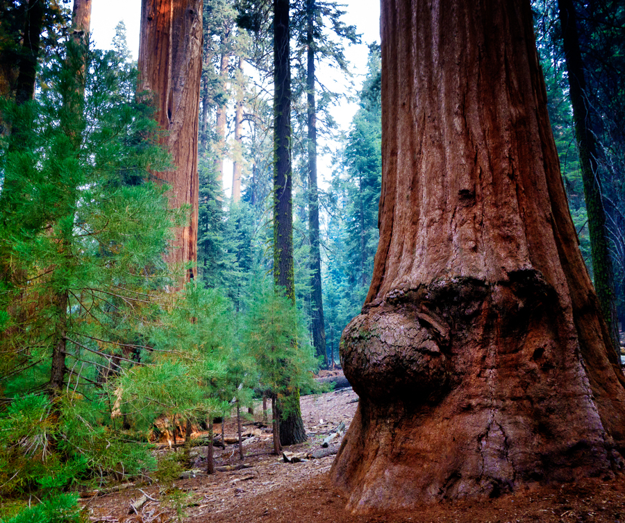 Sequoia-nose.jpg