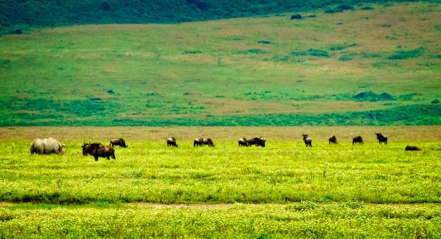 rhino-wildebeests.jpg
